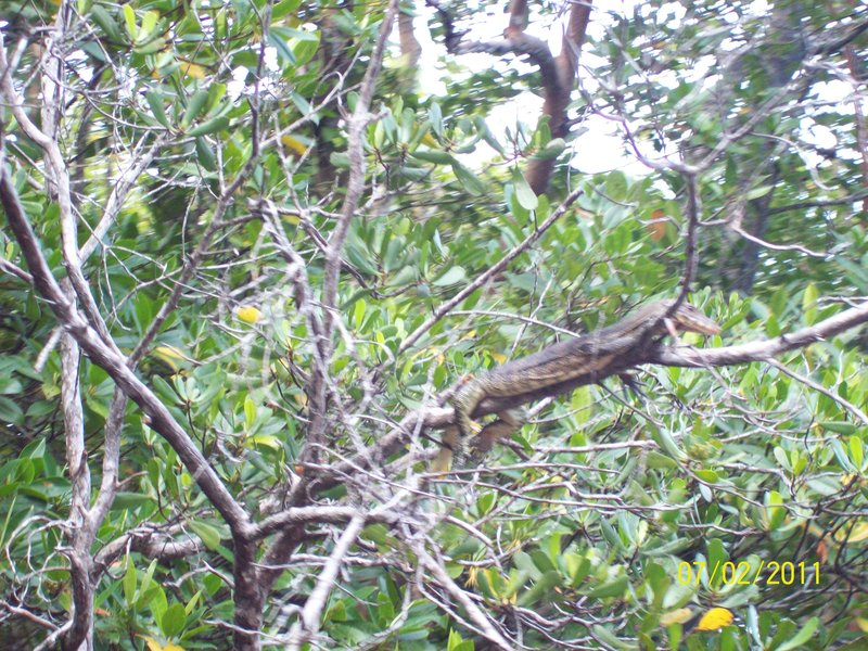 Monitor Lizard - Mangrove