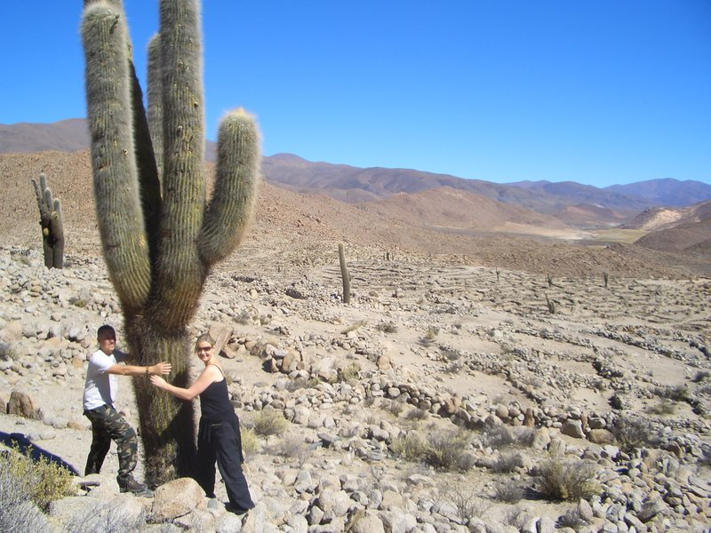 Giant Cacti...