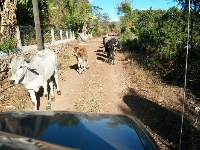 Volcán Ipala Cows