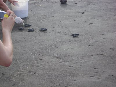 Baby Leatherback Sea Turtles