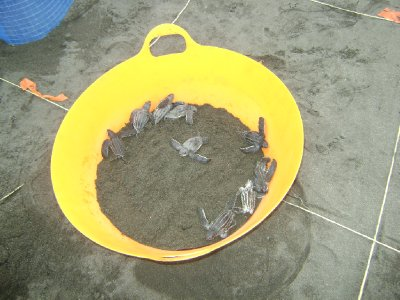 Bucket of Leatherback Hatchlings