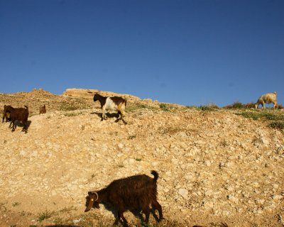 Goats, sheep and camels are common site along the roads in Jordan, and frequently also on the roads - so drive carefully!