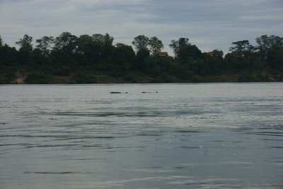 A couple of river dolphins in the distance