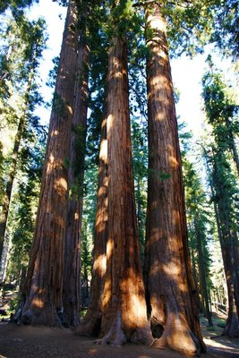 Group of sequoias at the Parker Grove, Sequoia NP, California, US