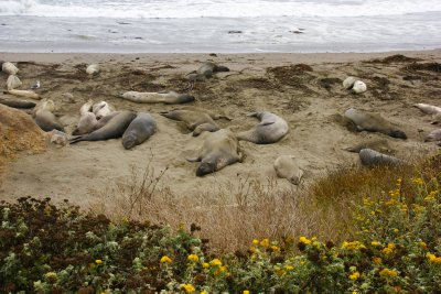 Elephant Seals along the Californian coast, Highway #1
