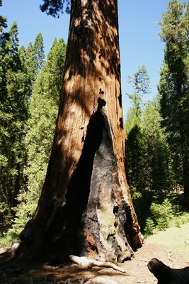 Burnt trunk of the General Grant Tree, Kings Canyon NP, California, US