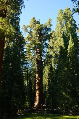 General Sherman Tree with dead part of its crown, Sequoia National Park, California, US
