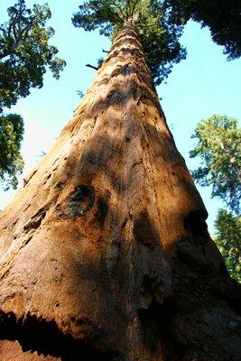 Sequoia tree, Calaveras Big Trees SP, California