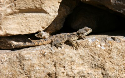 Lizard - a common sight throughout Jordan