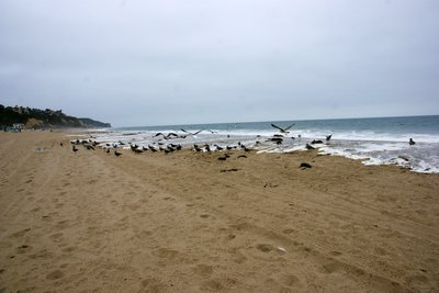 Birds waiting for waves to deliver their breakfast, Malibu, California, US