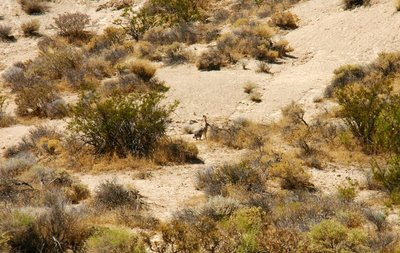 Red Rock landscape with hard to photograph wild hares, California, US