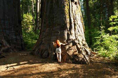 Sequoia trees in the Calaveras Big Trees Park, California