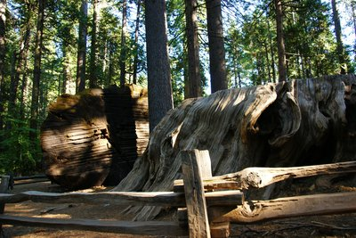 The Discovery Stump amongst 'normal' size trees, Calaveras Big Trees SP, California