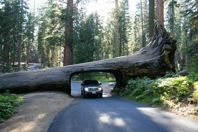 Driving through the Tunnel Log at the Sequoia NP, California, US
