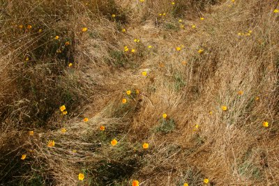 Wild Flowers at Point Reyes, California, US