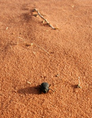 Beetle in the middle of a desert