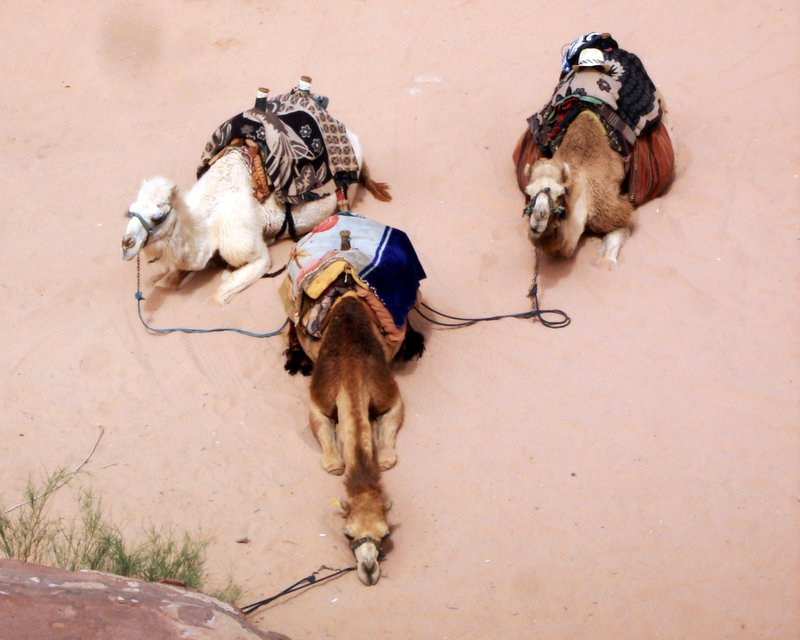 Our camels, patiently waiting whilst we lazed around in the midday sun in Wudi Rum