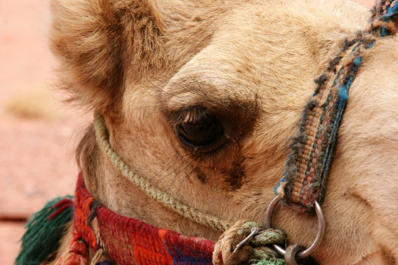 It is polite to keep an eye contact when dealing with Jordanian camels