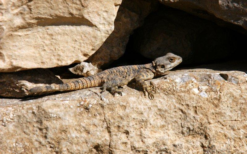 Lizard - a common sight throughout Jordan