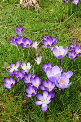 Huddle of differently shaded crocuses