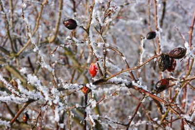 Rosehip bush covered in frost, with last red frozen into shape