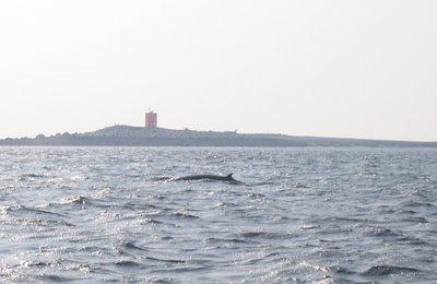 Minkey whale