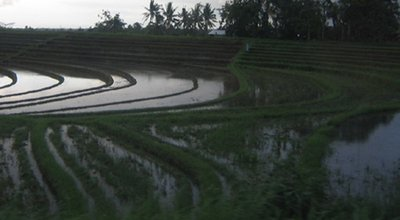 Rice Fields Bali (2)