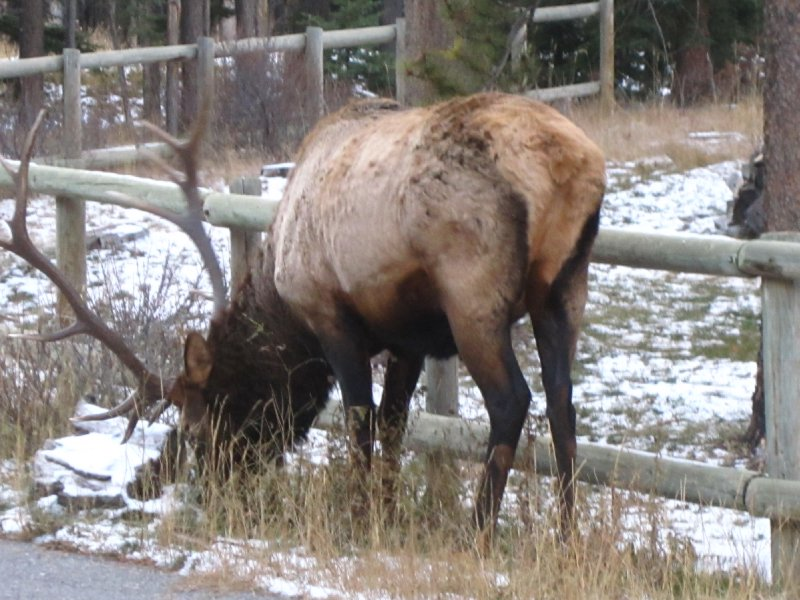 Wild elk