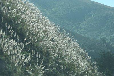 Pampas grass- SF to LA