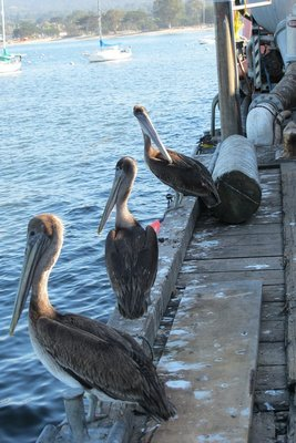 Pelicans in Monterey