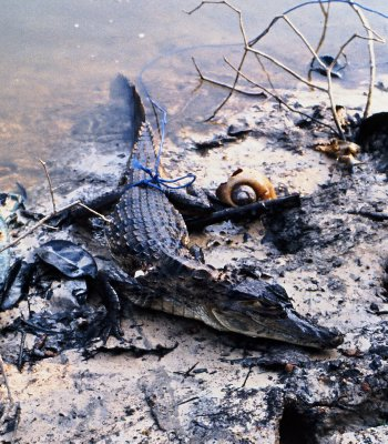 Alligator catch in the Amazon
