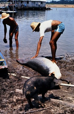 Giant Amazon fish
