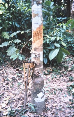 Rubber tree in the Amazon jungle