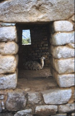 Llama and windows in Machu Picchu