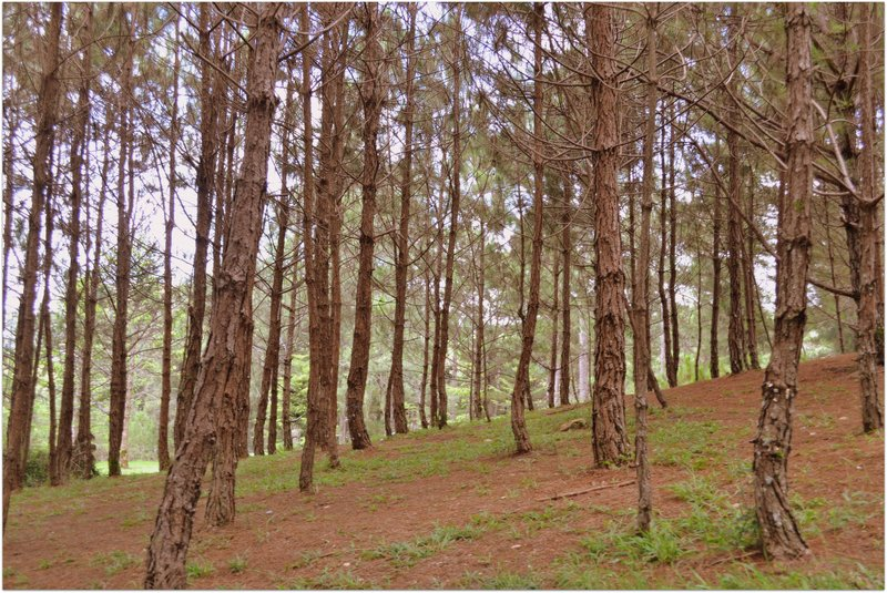 large_pine_trees.jpg