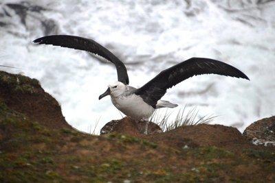 Albatross__9_.jpg