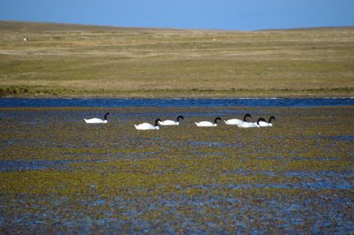 Black-Necked_Swans__2_.jpg