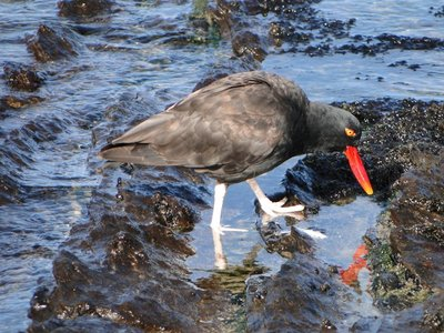 Black_Oystercatchers__2_.jpg