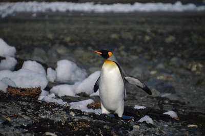 First_King_Penguin__2_.jpg