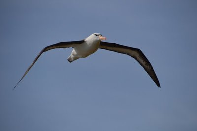Flying_Albatross__2_.jpg