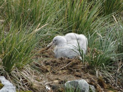 Giant_Petrel_Chick__1_.jpg