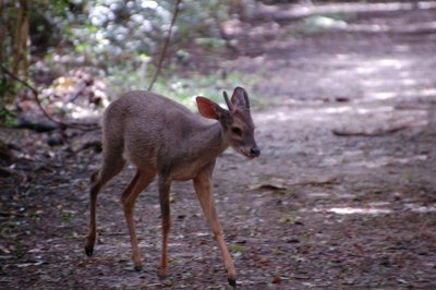 Grey_Brocket_Deer__1_.jpg