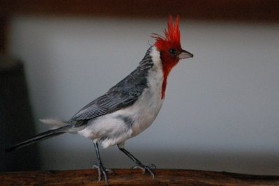 Red_Crested_Cardinal.jpg