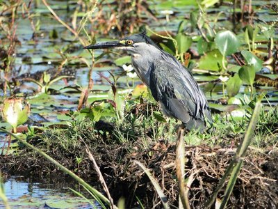 Striated_Heron__3_.jpg