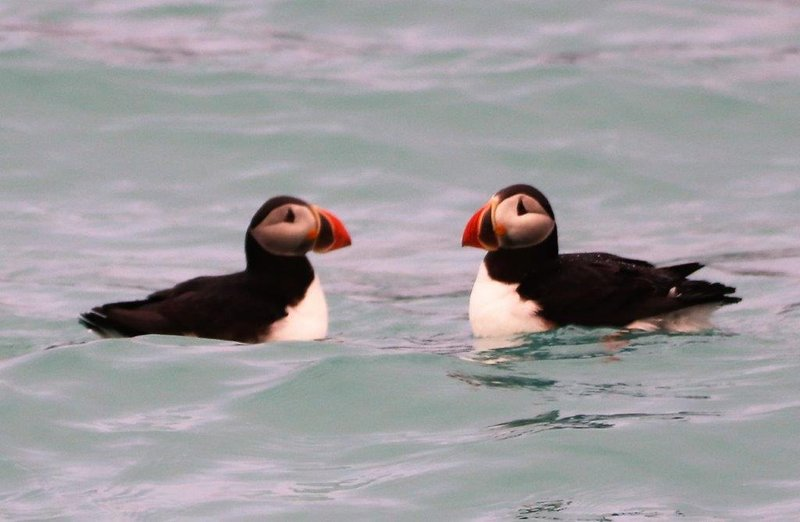 large_Puffins.jpg