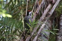DSC_7792-1_Woodpecker.jpg