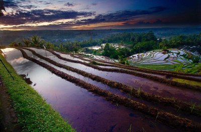 Belimbing rice fields 5