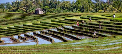 Belimbing rice fields 3
