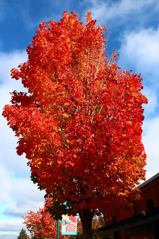 The maple tree at its brightest