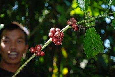 coffee beans - Lombok